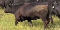 21 Reg. Angus Bred Heifers... Southwest SD ~ FD