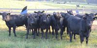 10 Purebred Angus Bred Heifers... Eastern VA