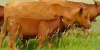 100 Red Angus Rep. Heifers... Northeast WY