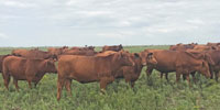 24 Red Angus Bred Heifers... Northeast OK