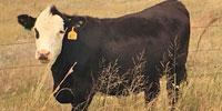 "86 Angus Cross ""BWF"" Bred Heifers... N. Central NE"