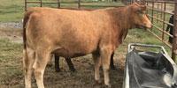 5 Beefmaster Bred Heifers... Northeast AR