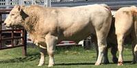 7 Reg. Charolais Bulls... Southwest MO