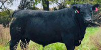 6 Reg. Angus Bulls... Central MO