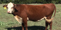 2 Reg. Hereford Cows... Central TX
