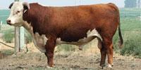 20 Reg. Hereford Bulls... East TX