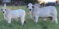 1 Reg. Brahman Bull Calf... N. Central TX