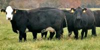 40 Angus & BWF Cows... Southwest MO (18)