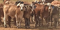 100 Braford/Tigerstripe Rep. Heifers... N. Central TX (1)