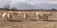 20 Reg. Charolais Bred Heifers... E. Central NE