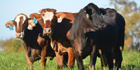 25 Crossbred Bred Heifers... Northwest GA