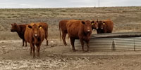 80 Red Angus Cows... OK Panhandle