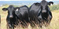 17 Angus Plus & Brangus 1st-Calf Heifers w/ 1+ Calf... North TX