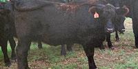 160 Angus Bred Heifers... E. Central OK