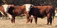 19 Reg. Hereford Bulls... Southwest MO