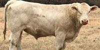 10 Reg. Charolais Bulls... Southwest MO
