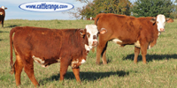 41 F1 Braford/Tigerstripe Rep. Heifers... Northeast TX