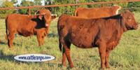 16 Red Angus Rep. Heifers... Northeast TX
