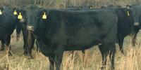 15 Angus Cows... Southwest MO