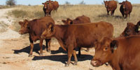 20 Red Angus Cows... North TX