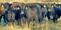 40 Angus & BWF Cows... Southwest MO (15) (2)