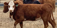 35 Black Baldy & Red Baldy Crossbred Bred Heifers... S. Central TX