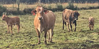 40 Crossbred Cows... East TX