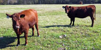 30 Red Angus Bred Heifers... Northeast TX