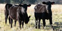 21 Angus Rep. Heifers... N. Central TX