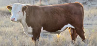 25 Reg. Hereford Bulls... OK Panhandle
