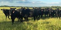 35 Brangus Bred Heifers... Southwest AR