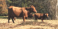 20 Angus & Red Angus Cross Pairs... East TX