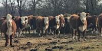 45 Horned Hereford Bred Heifers... Northeast TX