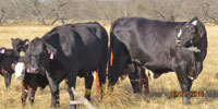 60 Angus/Brangus Cross Cows... N. Central TX