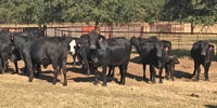 60 Brangus Bred Heifers... N. Central TX