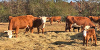 120 Hereford 1st-Calf Pairs... East TN