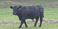 42 Reg. SimAngus Bulls... W. Central AL