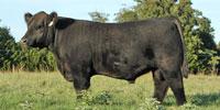 1 Reg. Chianina Bull... S. Central OK