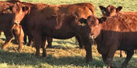 101 Red Angus Bred Heifers... Eastern TN