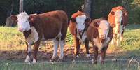 4 Hereford Rep. Heifers... East TX