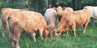 28 Angus/Charolais Cross Cows... N. Central MO