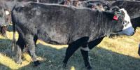 55 Angus & Angus Cross Cows... Southwest MO