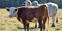 2 Reg. Hereford Cows... Central LA