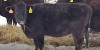 13 Angus Bred Heifers... Northwest MO