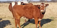 40 Red Angus Cross Bred Heifers... Northwest AR