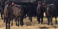 60 Brangus 1st-Calf Pairs... W. Central AR