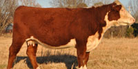 3 Reg. Horned Hereford 2nd-Calf Cows... E. Central OK