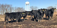 30 Angus Bred Heifers... Northwest MO