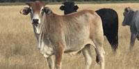 40 Brahman Cross Bred Heifers... Southeast TX