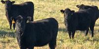 35 Angus & BWF Bred Heifers... Southwest MO